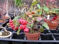 実物盆栽が見頃です。