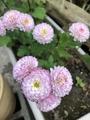 冬菊咲いてます