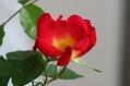 一番乗りで咲いたバラ