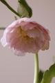 最終案内です・種播いてみませんか dd.「繭玉」×「雪桜」・・・M