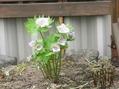 シラネアオイが咲きました