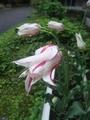 「マリリン」他チューリップが咲き揃った!