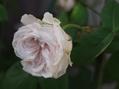 今日の薔薇たち