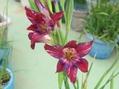 グラジオラス(春咲き)園芸品種②