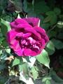 ニグレット、咲きました