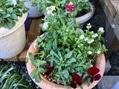 久しぶりの昼間の庭 寄せ植えの様子2