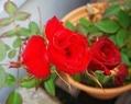 薔薇が咲いてます🌹