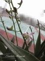 キンギアナム開花[i:148]