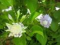 クレマチス開花すすむ