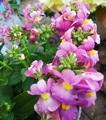💜紫のネメシアの花が美しいです🍀