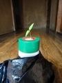 ペットボトルの上のミニトマトの発芽