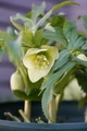 クリスマスローズの原種(H.リグリクス)