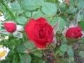 バラ開花!