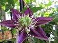 クレマチス・紫子丸は和服美人に違いない。