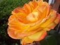 今日の開花