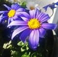 菊科の花の寄せ植え🏵️