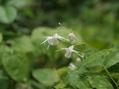 遅咲きのイカリソウ