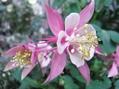 ジャーマンアイリスが咲きました!