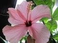 ピンク・ラベンダー色