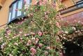 スパニッシュビューティーが咲いた