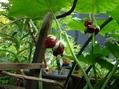 山野草の八角蓮・白山チドリ・ブルーシランが咲き始めました