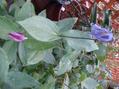 祝[i:136]ひかるりさんが、スカーレットを購入[i:160]やはり、クレマチスの魅力はすごいぞ[i:160]それでもって、我が家[i:38]でも超びっくりの2色咲きでクレマ新発見か[i:159]