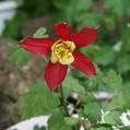 雑草オダマキの開花
