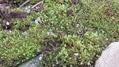 裏庭を苔の庭にしたい計画~