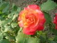 薔薇(ラブ)咲き始め