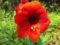アマリリス3種