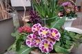 今日のお花たち(福寿草・梅)