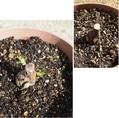 強剪定の芽が出て来ました。
