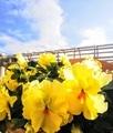 黄色いビオラが可愛く咲いています💐