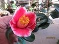 今年の椿『玉之浦』の開花は?