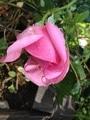開花!生き残りのバラたち