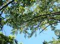 ハンカチの木撮り直し