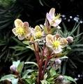 咲きそろったクリスマスローズ