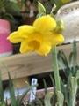 黄房水仙パラドール