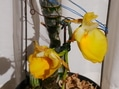 Ctsm.pileatum 'Oro Verde'