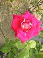 薔薇(ラブ)と芍薬