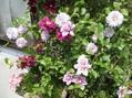 変わり咲きピルー