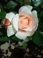 我が家の一番花