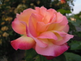 色が変わっていく薔薇