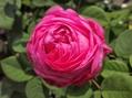 今日のバラ①。ぎっしりの花びら。