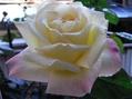殿堂入りのバラ ピースが咲きました