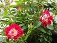 開花のバラ