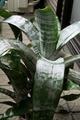 エクメア・ファスキアタが咲かない