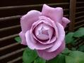 ゴールデンボーダー&ブルー系のバラ