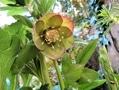 クリスマスローズの花(その7)