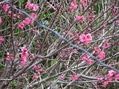 遅咲きの花桃